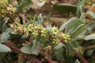 Monolepis nuttalliana