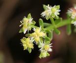 Galium angustifolium ssp. foliosum