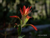 Castilleja applegatei ssp. pinetorum