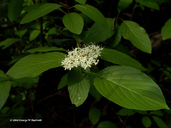 Cornus sericea ssp. occidentalis