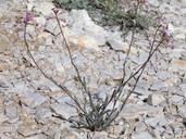 Boechera xylopoda