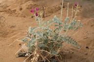 Astragalus lentiginosus var. borreganus