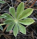 Lupinus grayi