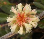 Eriogonum sphaerocephalum var. halimioides