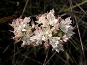 Allium marvinii