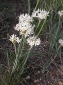 Allium marvinii