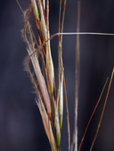Stipa occidentalis var. californica