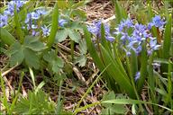 Scilla bifolia