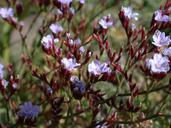 Limonium ramosissimum
