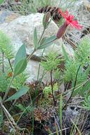 Silene serpentinicola