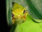 The Lemur Leaf Frog