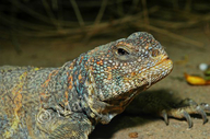 Ornate Spiny-tailed Lizard