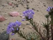 Eriastrum densifolium ssp. densifolium