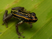Bamboo Poison Frog
