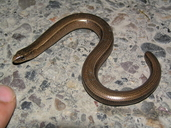 Colchic Slow Worm
