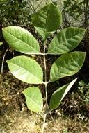 Fraxinus latifolia