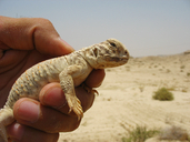 Mesopotamian Spiny-tailed lizard