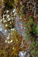 Saxifraga bronchialis