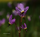 Dodecatheon sp.