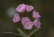 Kalmia polifolia var. microphylla