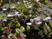 Collinsia corymbosa