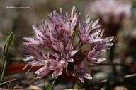 Allium cratericola
