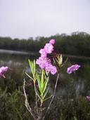 Kalmia polifolia