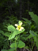 Viola pubescens