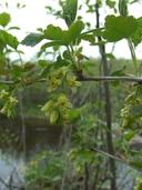 Ribes cynosbati