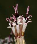 Palafoxia arida var. arida