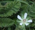 Horkelia marinensis