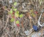 Eriogonum luteolum var. caninum