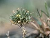 Navarretia nigelliformis