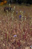 Plagiobothrys shastensis
