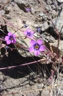 Gilia ochroleuca ssp. vivida