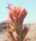 Castilleja affinis ssp. neglecta