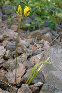 Triteleia crocea