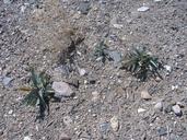 Penstemon floridus var. austinii
