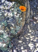 Calochortus kennedyi ssp. munzii