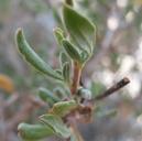 Eriogonum fasciculatum var. polifolium