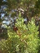 Hesperocyparis nevadensis