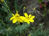 Eriophyllum lanatum