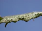 Hypochaeris radicata