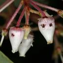 Arctostaphylos viscida ssp. viscida