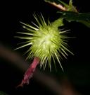 Ribes roezlii var. roezlii