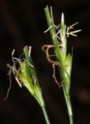 Carex multicaulis