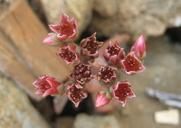 Sedum laxum ssp. eastwoodiae