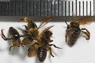 Andrena nigrihirta