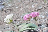 Allium tolmiei