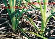 Sparganium eurycarpum var. eurycarpum